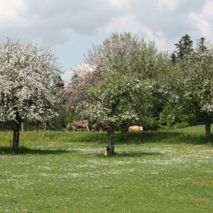 Obstbaumblüte in Glotzing